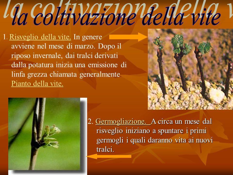 2. Germogliazione. A circa un mese dal risveglio iniziano a spuntare i primi germogli i quali daranno vita ai nuovi tralci. 1. Risveglio della vite. I