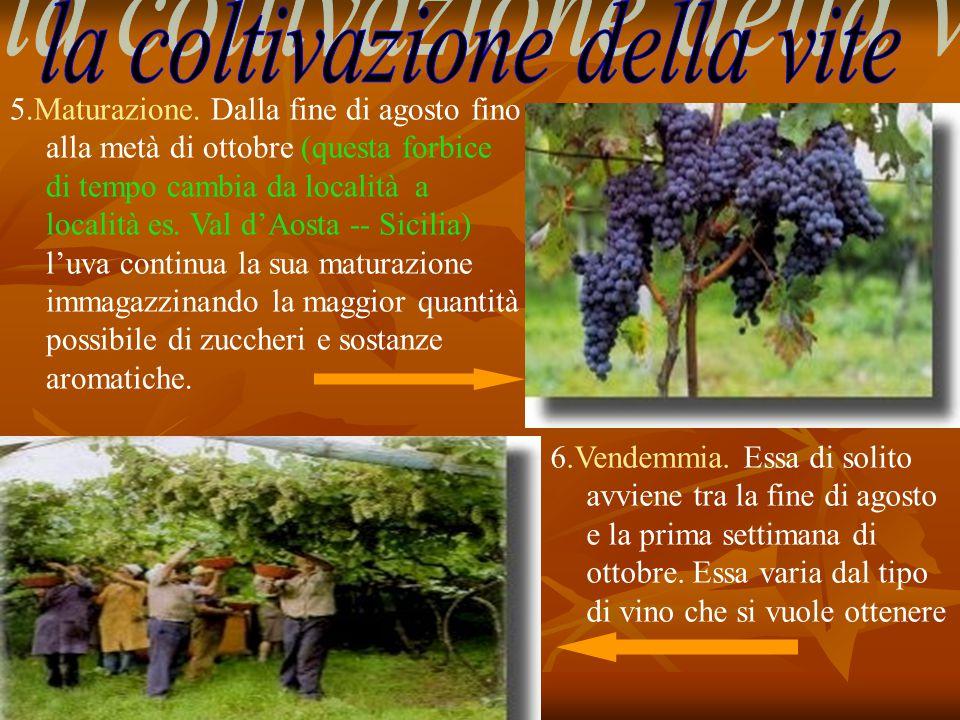 5.Maturazione. Dalla fine di agosto fino alla metà di ottobre (questa forbice di tempo cambia da località a es. Val d'Aosta -- Sicilia) l'uva continua