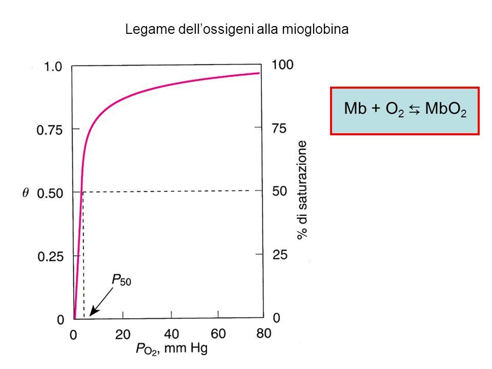 Legame dell'ossigeni alla mioglobina Mb + O 2 ⇆ MbO 2