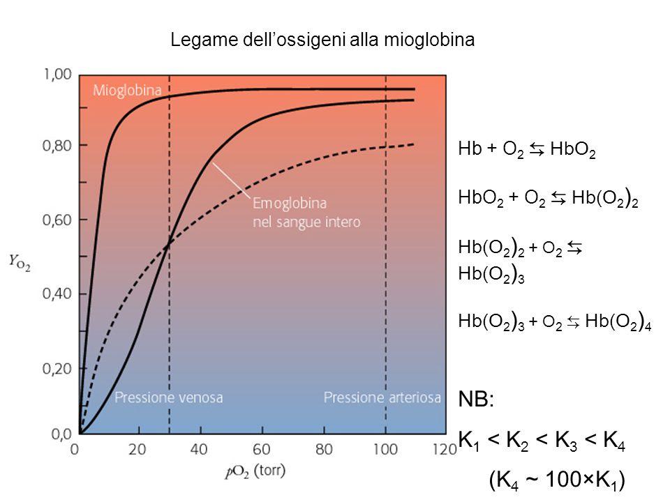 Legame dell'ossigeni alla mioglobina Hb + O 2 ⇆ HbO 2 HbO 2 + O 2 ⇆ Hb(O 2 ) 2 Hb(O 2 ) 2 + O 2 ⇆ Hb(O 2 ) 3 Hb(O 2 ) 3 + O 2 ⇆ Hb(O 2 ) 4 NB: K 1 < K 2 < K 3 < K 4 (K 4 ~ 100×K 1 )