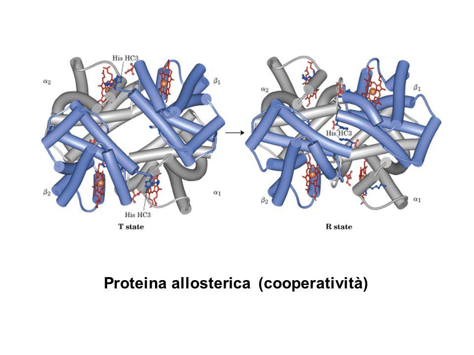 Proteina allosterica (cooperatività)