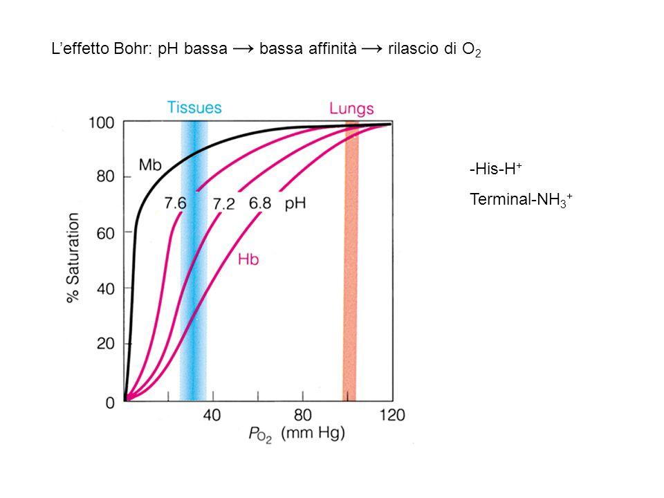 L'effetto Bohr: pH bassa → bassa affinità → rilascio di O 2 -His-H + Terminal-NH 3 +