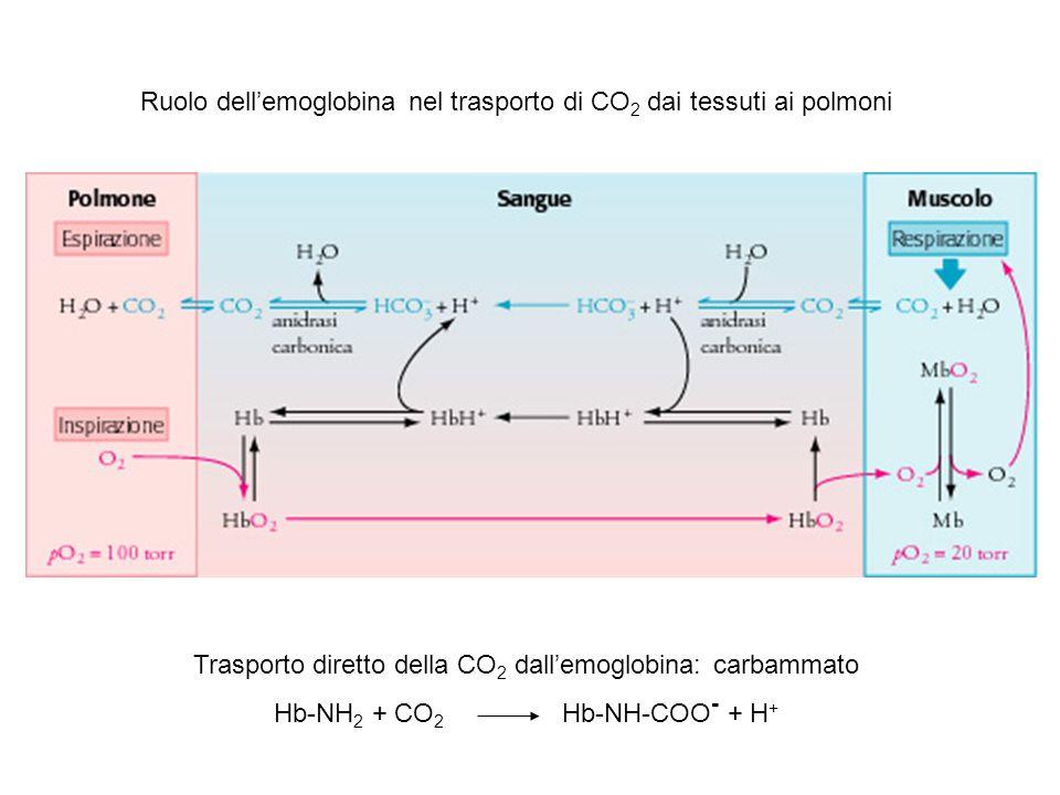 Ruolo dell'emoglobina nel trasporto di CO 2 dai tessuti ai polmoni Trasporto diretto della CO 2 dall'emoglobina: carbammato Hb-NH 2 + CO 2 Hb-NH-COO - + H +