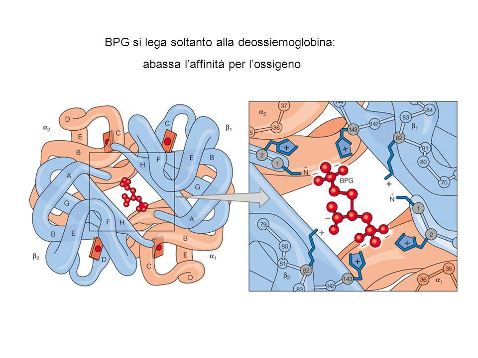 BPG si lega soltanto alla deossiemoglobina: abassa l'affinità per l'ossigeno