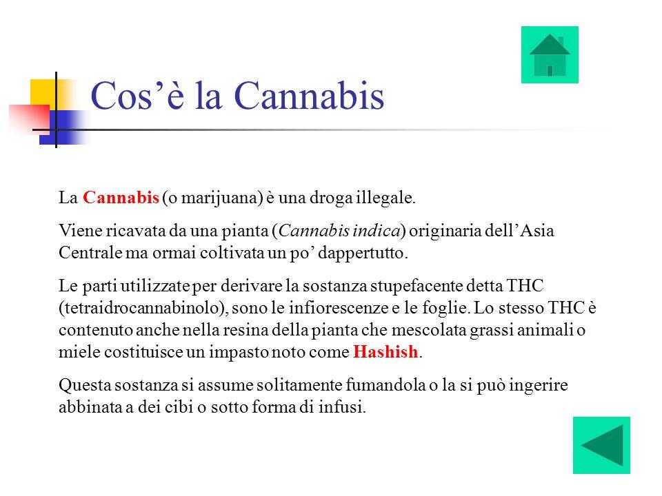 Cos'è la Cannabis La Cannabis (o marijuana) è una droga illegale. Viene ricavata da una pianta (Cannabis indica) originaria dell'Asia Centrale ma orma