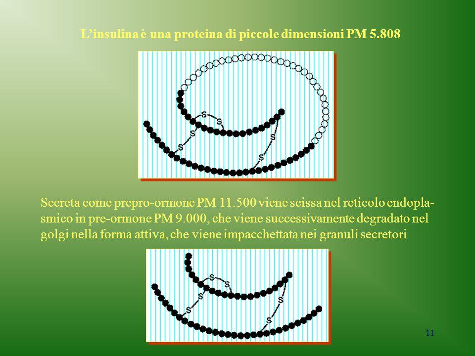 11 L'insulina è una proteina di piccole dimensioni PM 5.808 Secreta come prepro-ormone PM 11.500 viene scissa nel reticolo endopla- smico in pre-ormon