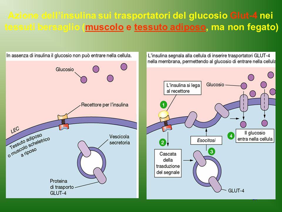23 Azione dell'insulina sui trasportatori del glucosio Glut-4 nei tessuti bersaglio (muscolo e tessuto adiposo, ma non fegato)