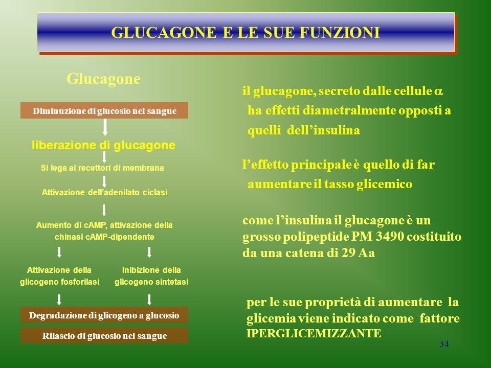 34 come l'insulina il glucagone è un grosso polipeptide PM 3490 costituito da una catena di 29 Aa Diminuzione di glucosio nel sangue liberazione di gl