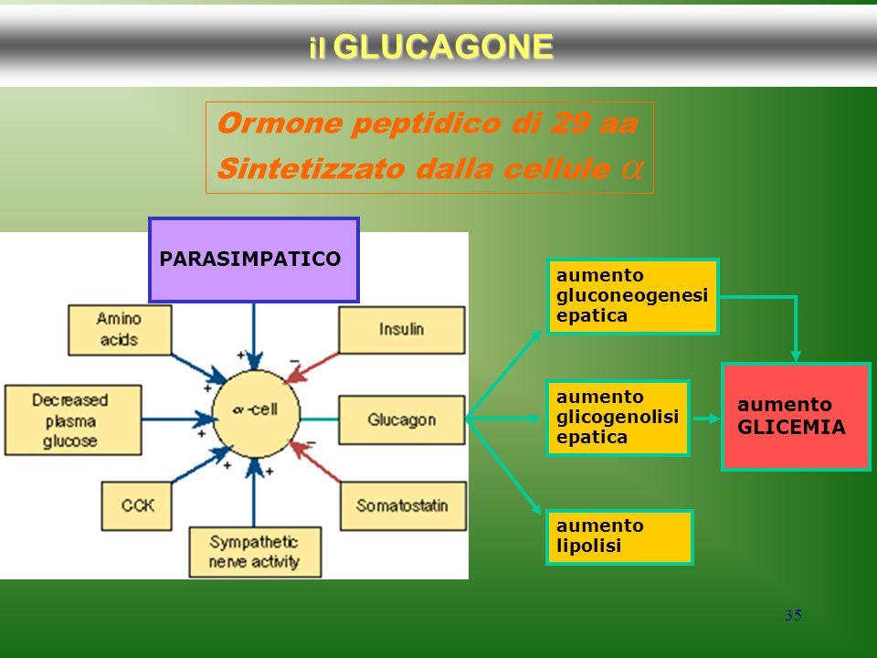 35 il GLUCAGONE Ormone peptidico di 29 aa Sintetizzato dalla cellule  PARASIMPATICO aumento gluconeogenesi epatica aumento glicogenolisi epatica aume