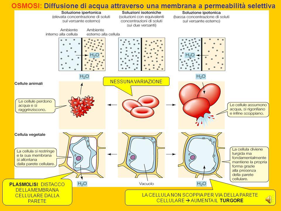OSMOSI: Diffusione di acqua attraverso una membrana a permeabilità selettiva NESSUNA VARIAZIONE PLASMOLISI: DISTACCO DELLA MEMBRANA CELLULARE DALLA PARETE LA CELLULA NON SCOPPIA PER VIA DELLA PARETE CELLULARE  AUMENTA IL TURGORE
