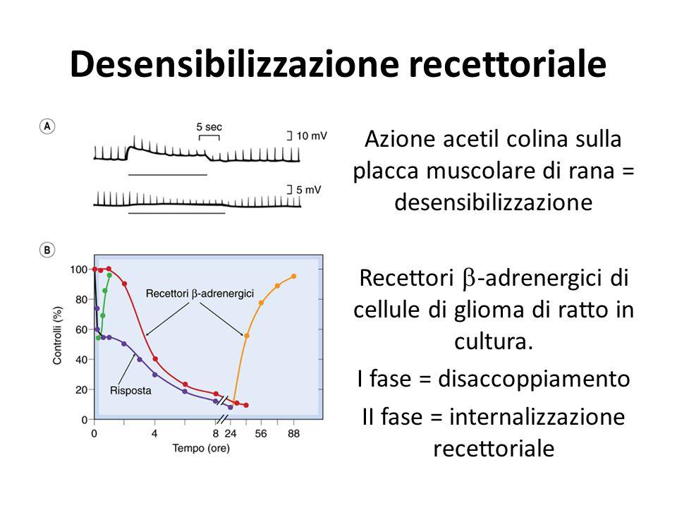 Desensibilizzazione recettoriale Azione acetil colina sulla placca muscolare di rana = desensibilizzazione Recettori  -adrenergici di cellule di glio