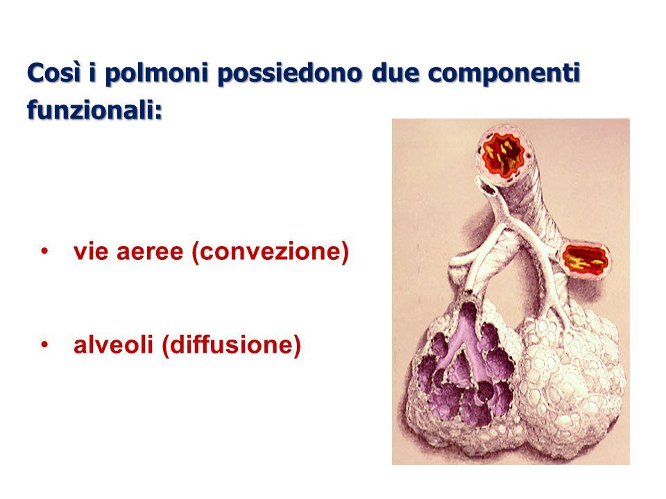 Così i polmoni possiedono due componenti funzionali: vie aeree (convezione) alveoli (diffusione)