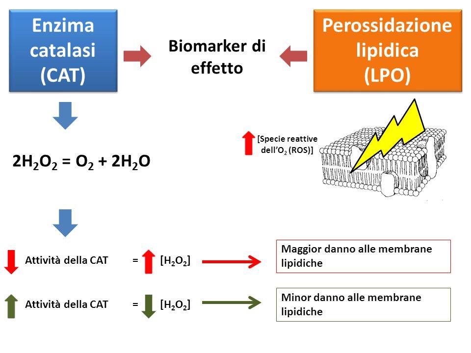 Enzima catalasi (CAT) Perossidazione lipidica (LPO) Perossidazione lipidica (LPO) Biomarker di effetto 2H 2 O 2 = O 2 + 2H 2 O Attività della CAT= [H 2 O 2 ] Attività della CAT= [H 2 O 2 ] Maggior danno alle membrane lipidiche Minor danno alle membrane lipidiche [Specie reattive dell'O 2 (ROS)]