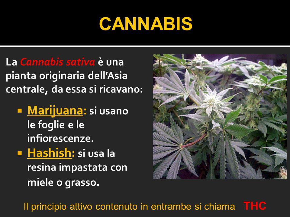  Marijuana: si usano le foglie e le infiorescenze.  Hashish: si usa la resina impastata con miele o grasso. CANNABIS La Cannabis sativa è una pianta