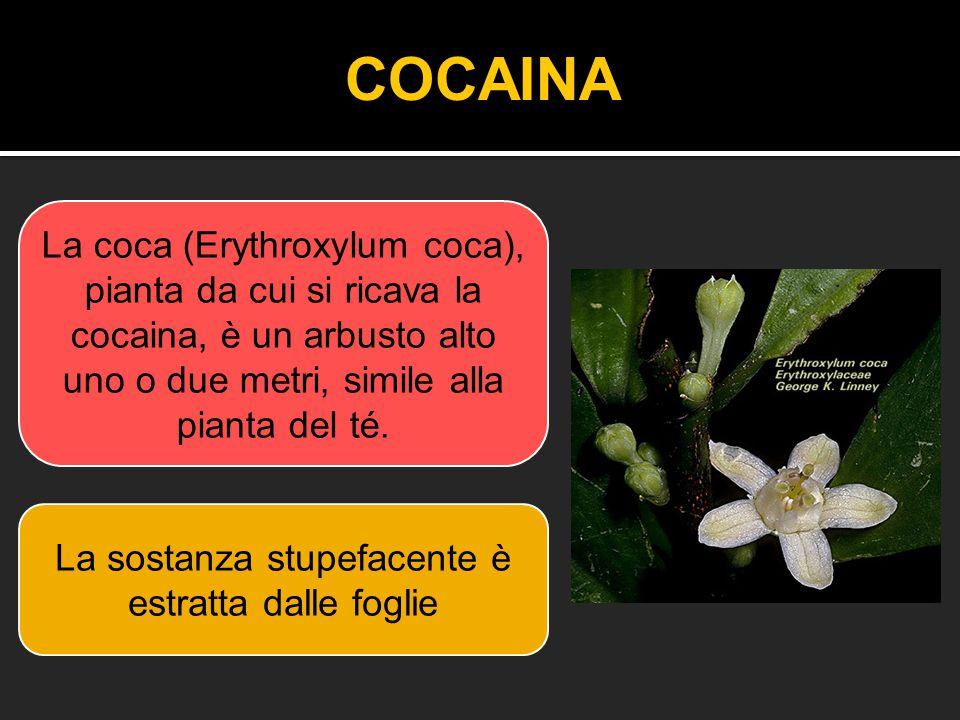 La coca (Erythroxylum coca), pianta da cui si ricava la cocaina, è un arbusto alto uno o due metri, simile alla pianta del té. La sostanza stupefacent