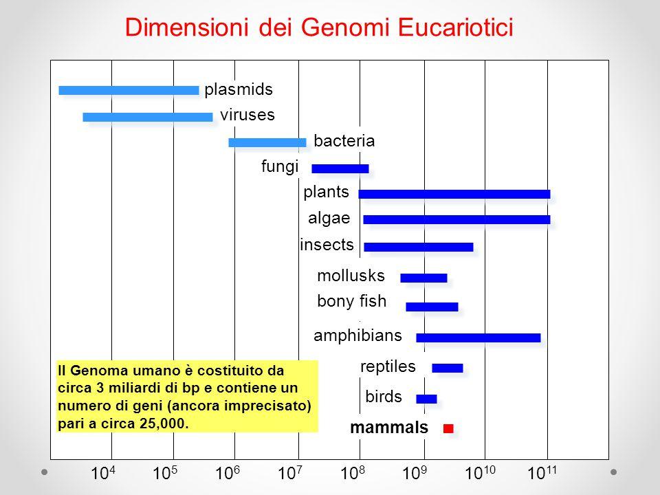 Dimensioni dei Genomi Eucariotici viruses plasmids bacteria fungi plants algae insects mollusks reptiles birds mammals 10 4 10 8 10 5 10 6 10 7 10 1110 10 9 Il Genoma umano è costituito da circa 3 miliardi di bp e contiene un numero di geni (ancora imprecisato) pari a circa 25,000.
