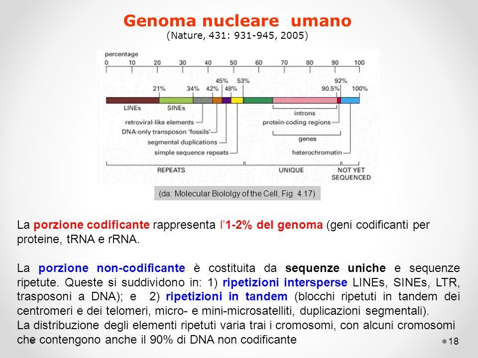 18 Genoma nucleare umano (Nature, 431: 931-945, 2005) (da: Molecular Biololgy of the Cell, Fig. 4.17) La porzione codificante rappresenta l'1-2% del g
