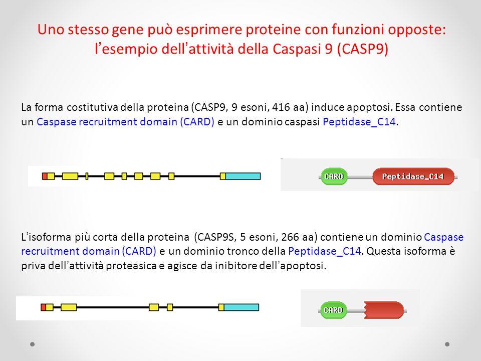 Uno stesso gene può esprimere proteine con funzioni opposte: l'esempio dell'attività della Caspasi 9 (CASP9) La forma costitutiva della proteina (CASP9, 9 esoni, 416 aa) induce apoptosi.