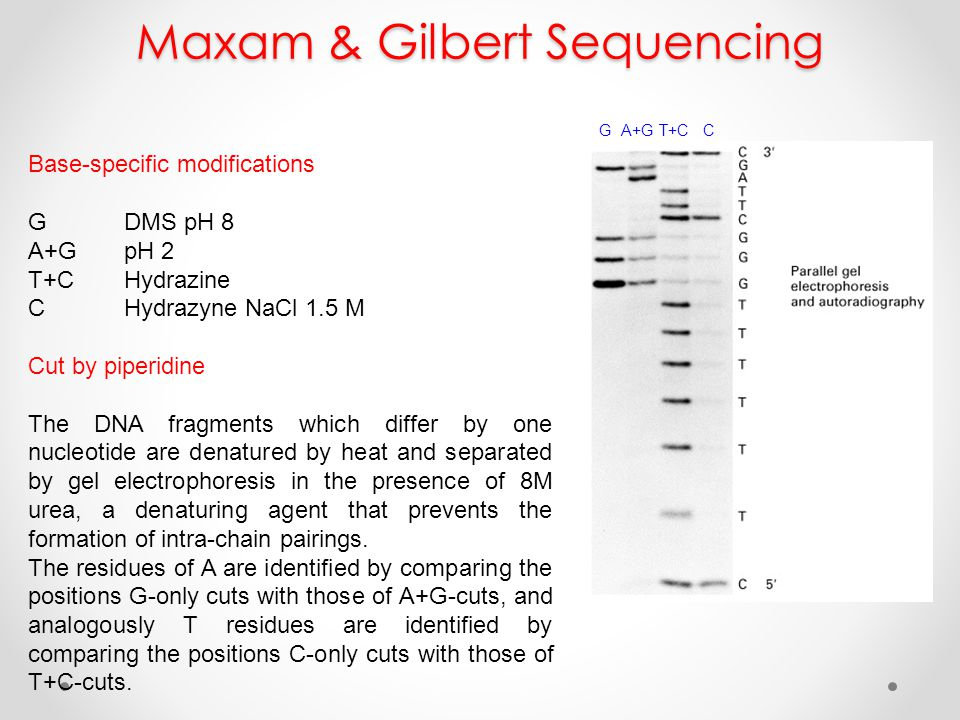 Maxam & Gilbert Sequencing Base-specific modifications GDMS pH 8 A+GpH 2 T+CHydrazine CHydrazyne NaCl 1.5 M Cut by piperidine The DNA fragments which differ by one nucleotide are denatured by heat and separated by gel electrophoresis in the presence of 8M urea, a denaturing agent that prevents the formation of intra-chain pairings.