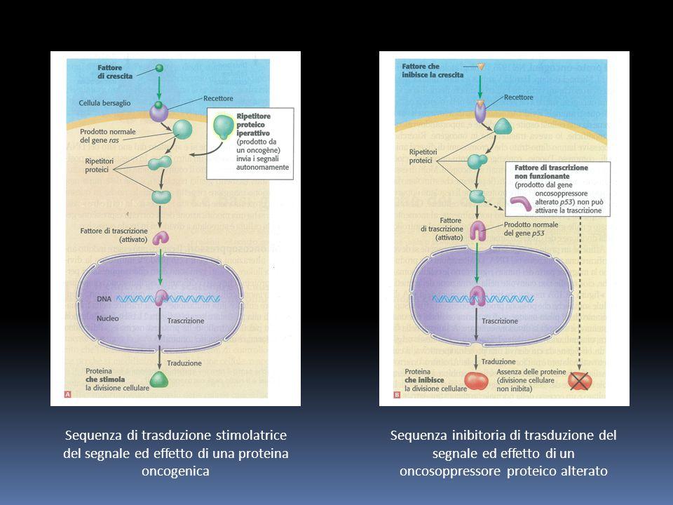 Sequenza di trasduzione stimolatrice del segnale ed effetto di una proteina oncogenica Sequenza inibitoria di trasduzione del segnale ed effetto di un