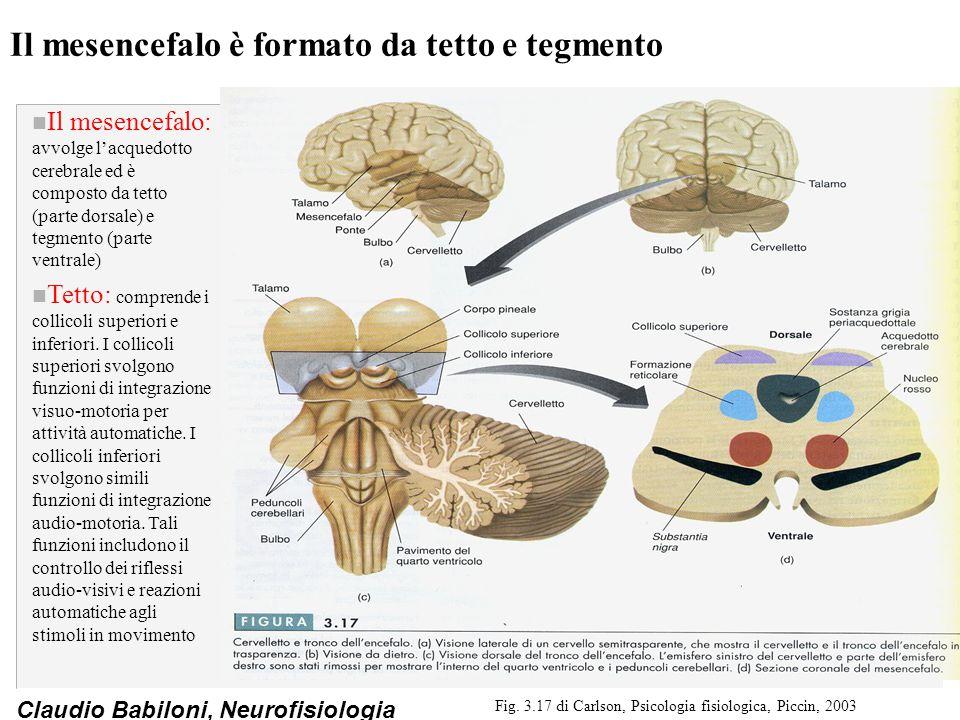 Claudio Babiloni, Neurofisiologia Il mesencefalo è formato da tetto e tegmento n Il mesencefalo: avvolge l'acquedotto cerebrale ed è composto da tetto (parte dorsale) e tegmento (parte ventrale) n Tetto: comprende i collicoli superiori e inferiori.