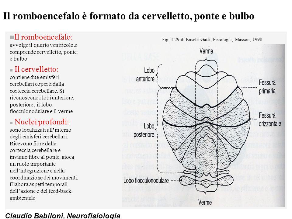Claudio Babiloni, Neurofisiologia Il romboencefalo è formato da cervelletto, ponte e bulbo n Il romboencefalo: avvolge il quarto ventricolo.e comprende cervelletto, ponte, e bulbo n Il cervelletto: contiene due emisferi cerebellari coperti dalla corteccia cerebellare.