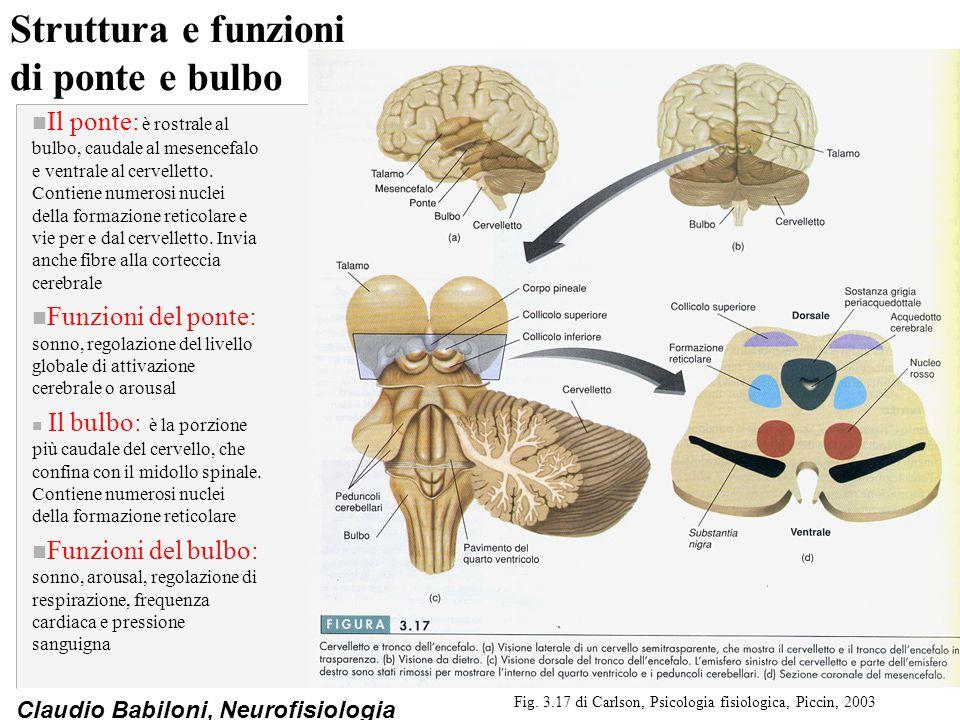 Claudio Babiloni, Neurofisiologia Struttura e funzioni di ponte e bulbo n Il ponte: è rostrale al bulbo, caudale al mesencefalo e ventrale al cervelle