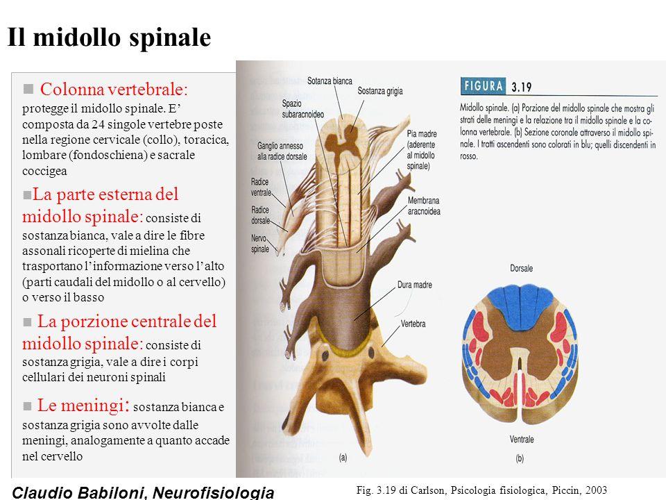 Claudio Babiloni, Neurofisiologia Il midollo spinale n Colonna vertebrale: protegge il midollo spinale. E' composta da 24 singole vertebre poste nella