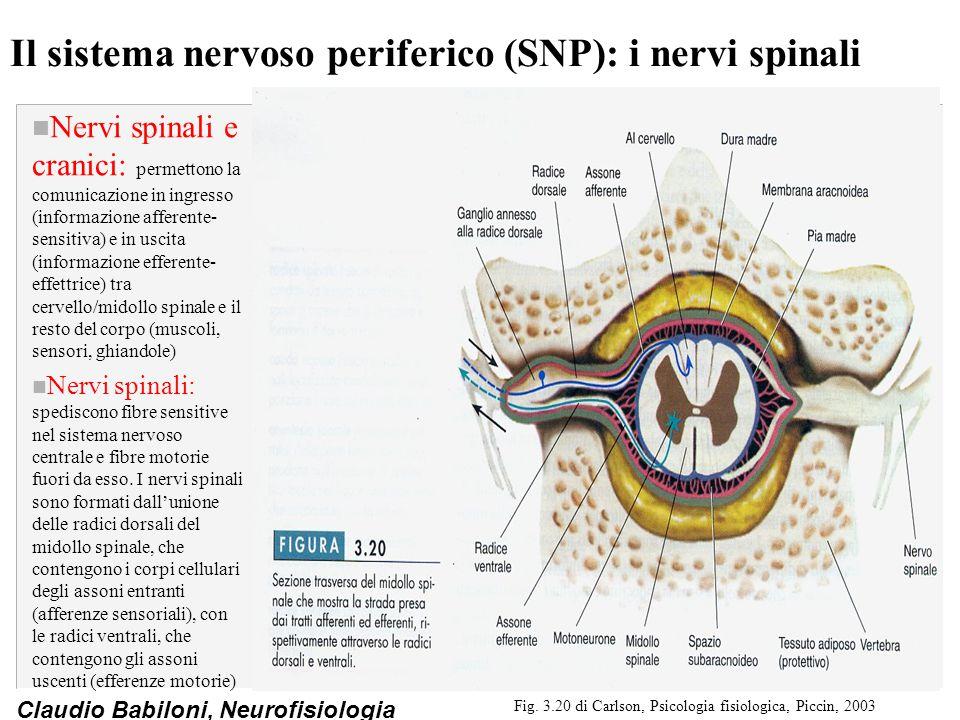 Claudio Babiloni, Neurofisiologia Il sistema nervoso periferico (SNP): i nervi spinali n Nervi spinali e cranici: permettono la comunicazione in ingre