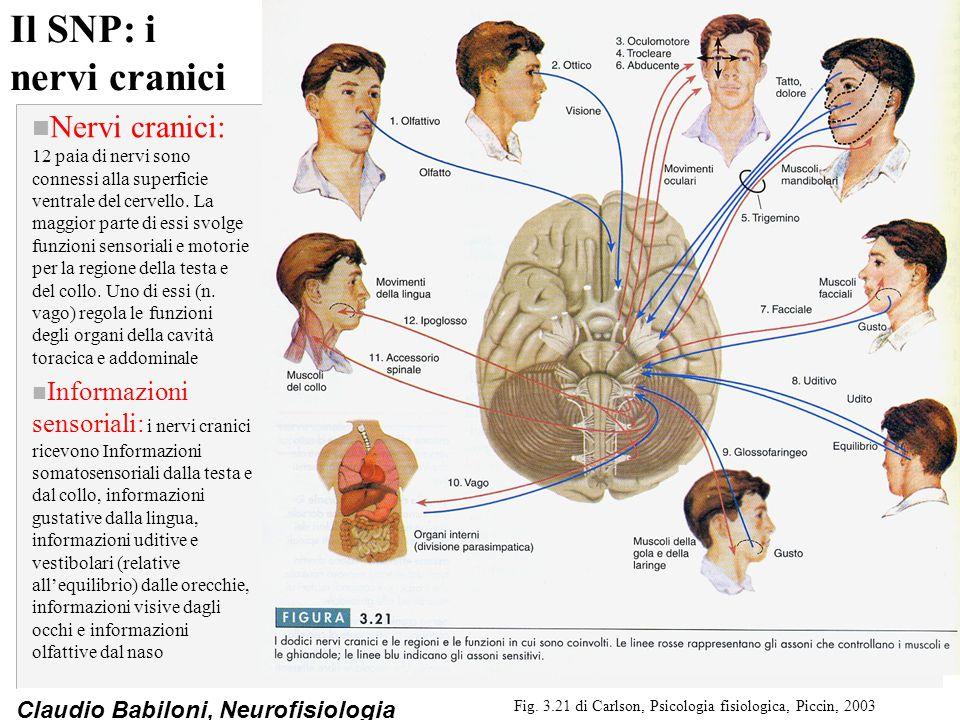 Claudio Babiloni, Neurofisiologia Il SNP: i nervi cranici n Nervi cranici: 12 paia di nervi sono connessi alla superficie ventrale del cervello. La ma