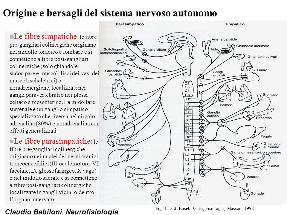 Claudio Babiloni, Neurofisiologia Origine e bersagli del sistema nervoso autonomo n Le fibre simpatiche: le fibre pre-gangliari colinergiche originano nel midollo toracico e lombare e si connettono a fibre post-gangliari colinergiche (solo ghiandole sudoripare e muscoli lisci dei vasi dei muscoli scheletrici) o noradrenergiche, localizzate nei gangli paravertebrali o nei plessi celiaco e mesenterico.