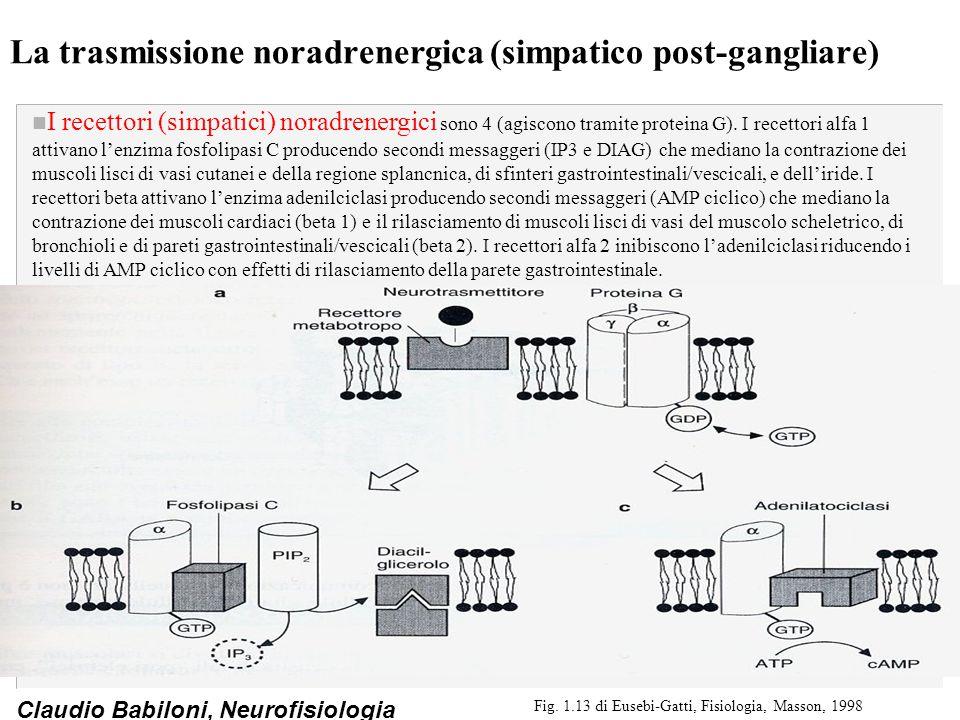 Claudio Babiloni, Neurofisiologia La trasmissione noradrenergica (simpatico post-gangliare) n I recettori (simpatici) noradrenergici sono 4 (agiscono