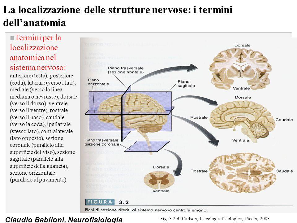 Claudio Babiloni, Neurofisiologia La localizzazione delle strutture nervose: i termini dell'anatomia n Termini per la localizzazione anatomica nel sistema nervoso: anteriore (testa), posteriore (coda), laterale (verso i lati), mediale (verso la linea mediana o nevrasse), dorsale (verso il dorso), ventrale (verso il ventre), rostrale (verso il naso), caudale (verso la coda), ipsilatrale (stesso lato), contralaterale (lato opposto), sezione coronale (parallelo alla superficie del viso), sezione sagittale (parallelo alla superficie della guancia), sezione orizzontale (parallelo al pavimento) Fig.