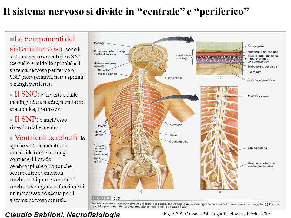 Claudio Babiloni, Neurofisiologia Il sistema nervoso si divide in centrale e periferico n Le componenti del sistema nervoso: sono il sistema nervoso centrale o SNC (cervello e midollo spinale) e il sistema nervoso periferico o SNP (nervi cranici, nervi spinali e gangli periferici) n Il SNC: e' rivestito dalle meningi (dura madre, membrana aracnoidea, pia madre) n Il SNP: è anch'esso rivestito dalle meningi n Ventricoli cerebrali: lo spazio sotto la membrana aracnoidea delle meningi contiene il liquido cerebrospinale o liquor che scorre entro i ventricoli cerebrali.