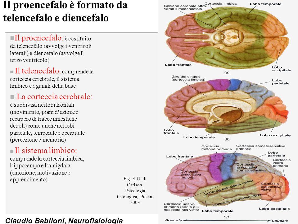 Claudio Babiloni, Neurofisiologia Il proencefalo è formato da telencefalo e diencefalo n Il proencefalo: è costituito da telencefalo (avvolge i ventricoli laterali) e diencefalo (avvolge il terzo ventricolo) n Il telencefalo: comprende la corteccia cerebrale, il sistema limbico e i gangli della base n La corteccia cerebrale: è suddivisa nei lobi frontali (movimento, piani d'azione e recupero di tracce mnestiche deboli) come anche nei lobi parietale, temporale e occipitale (percezione e memoria) n Il sistema limbico: comprende la corteccia limbica, l'ippocampo e l'amigdala (emozione, motivazione e apprendimento) Fig.