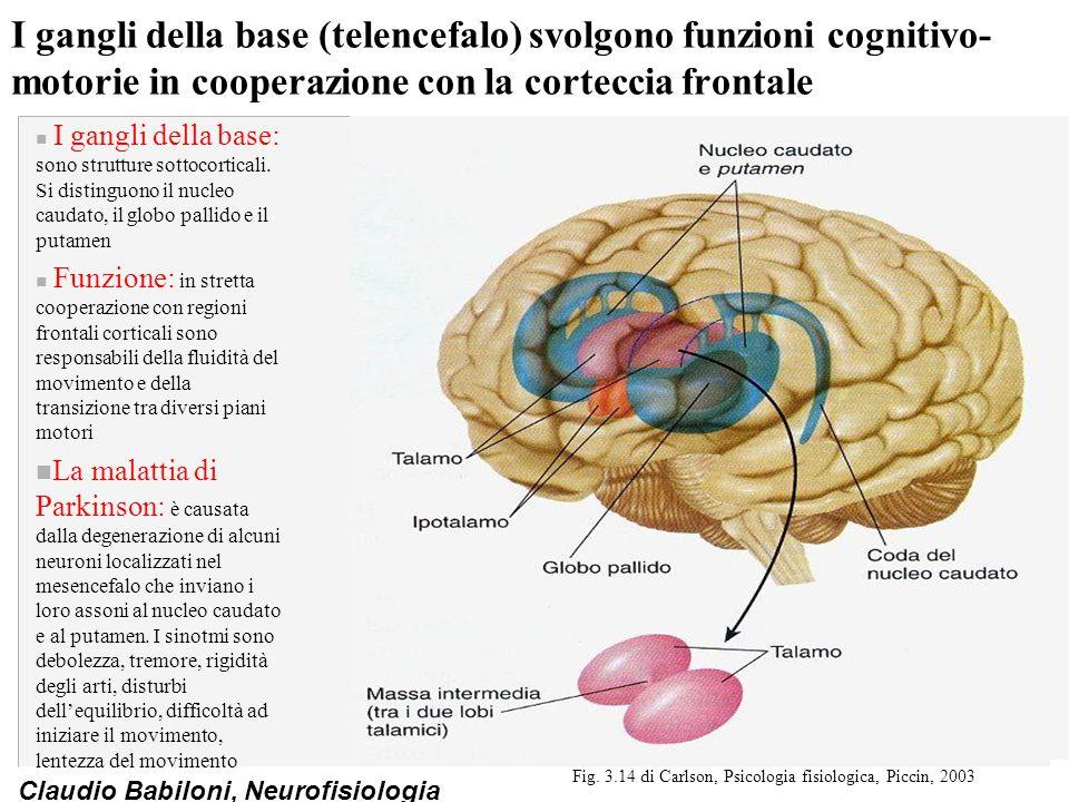Claudio Babiloni, Neurofisiologia I gangli della base (telencefalo) svolgono funzioni cognitivo- motorie in cooperazione con la corteccia frontale n I