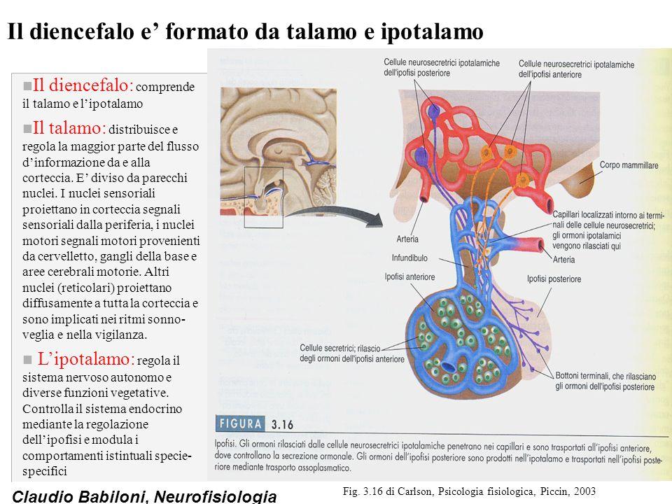 Claudio Babiloni, Neurofisiologia Il diencefalo e' formato da talamo e ipotalamo n Il diencefalo: comprende il talamo e l'ipotalamo n Il talamo: distribuisce e regola la maggior parte del flusso d'informazione da e alla corteccia.