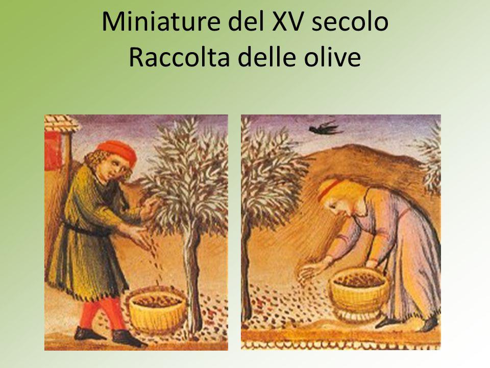 Miniature del XV secolo Raccolta delle olive