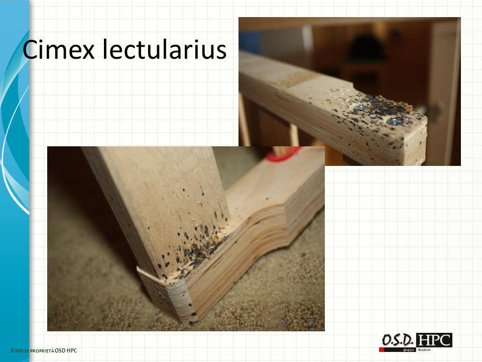 Cimex lectularius F OTO DI PROPRIETÀ OSD HPC