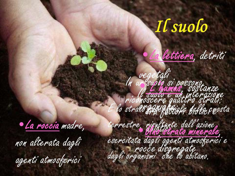 Il suolo Il suolo è un interazione tra fattori biotici e abiotici. È lo strato superficiale della crosta terrestre, risultante dall'azione esercitata
