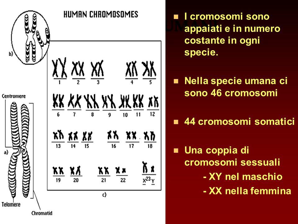 CROMOSOMI UMANI n I cromosomi sono appaiati e in numero costante in ogni specie. n Nella specie umana ci sono 46 cromosomi n 44 cromosomi somatici n U