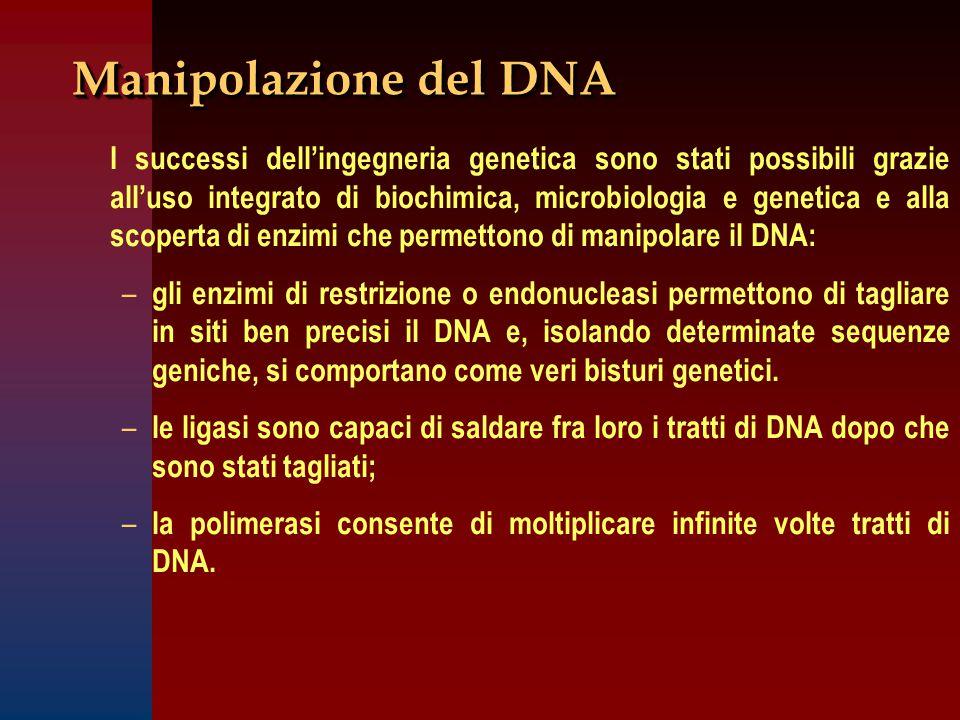Manipolazione del DNA I successi dell'ingegneria genetica sono stati possibili grazie all'uso integrato di biochimica, microbiologia e genetica e alla scoperta di enzimi che permettono di manipolare il DNA: – – gli enzimi di restrizione o endonucleasi permettono di tagliare in siti ben precisi il DNA e, isolando determinate sequenze geniche, si comportano come veri bisturi genetici.