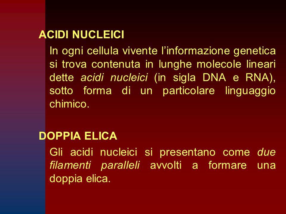 ACIDI NUCLEICI In ogni cellula vivente l'informazione genetica si trova contenuta in lunghe molecole lineari dette acidi nucleici (in sigla DNA e RNA), sotto forma di un particolare linguaggio chimico.