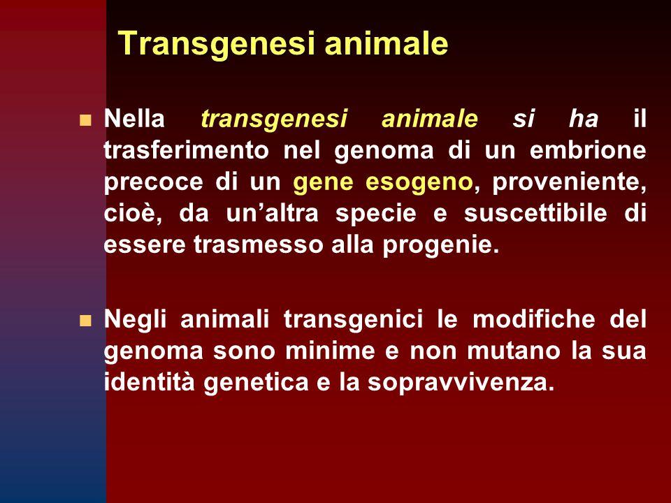 Transgenesi animale n n Nella transgenesi animale si ha il trasferimento nel genoma di un embrione precoce di un gene esogeno, proveniente, cioè, da un'altra specie e suscettibile di essere trasmesso alla progenie.
