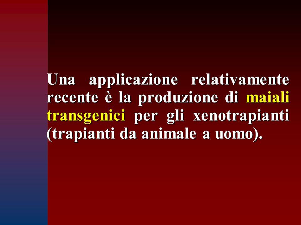 Una applicazione relativamente recente è la produzione di maiali transgenici per gli xenotrapianti (trapianti da animale a uomo).
