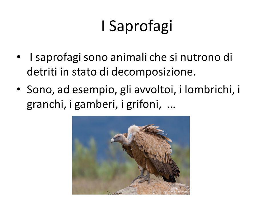 I Saprofagi I saprofagi sono animali che si nutrono di detriti in stato di decomposizione. Sono, ad esempio, gli avvoltoi, i lombrichi, i granchi, i g