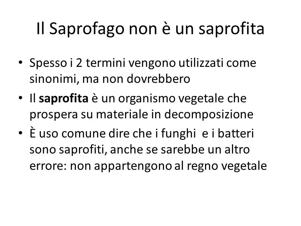 Il Saprofago non è un saprofita Spesso i 2 termini vengono utilizzati come sinonimi, ma non dovrebbero Il saprofita è un organismo vegetale che prospe
