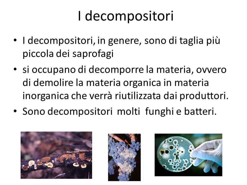 I decompositori I decompositori, in genere, sono di taglia più piccola dei saprofagi si occupano di decomporre la materia, ovvero di demolire la mater