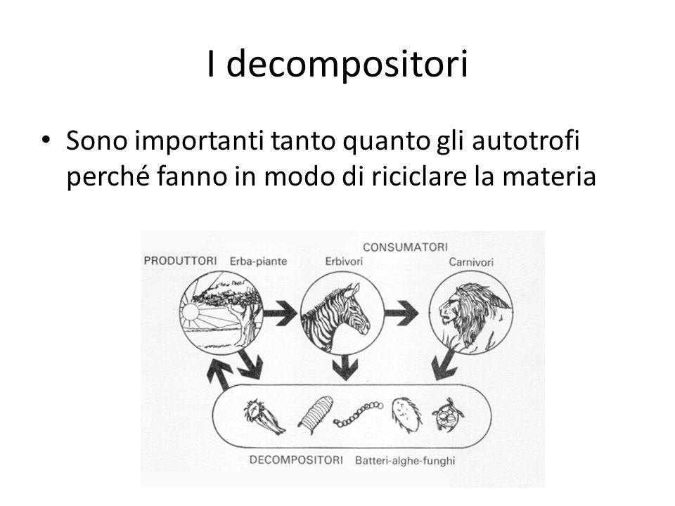 I decompositori Sono importanti tanto quanto gli autotrofi perché fanno in modo di riciclare la materia