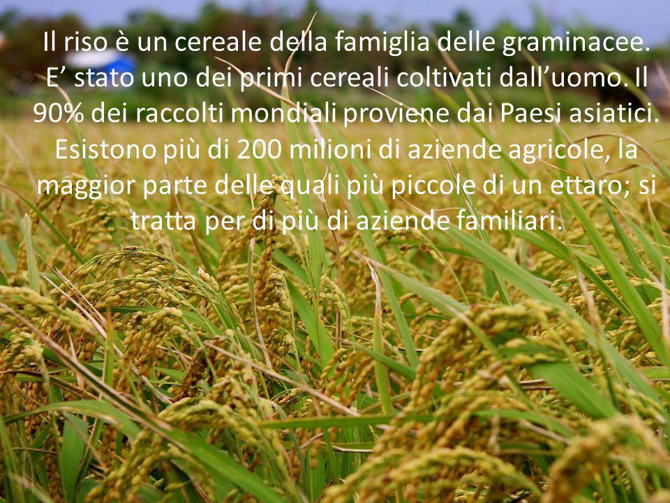 Il riso è un cereale della famiglia delle graminacee. E' stato uno dei primi cereali coltivati dall'uomo. Il 90% dei raccolti mondiali proviene dai Pa